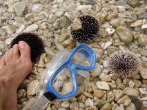 Sea urchin, diving mask and foot. (danger Stock Images