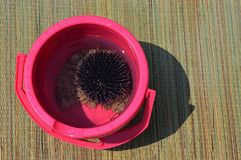Sea urchin Echiinodea also called sea hedgehog held in pink bucket with some stones, placed on sweet flag sunbed. On Croatian beach royalty free stock images