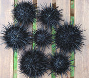 Sea urchin, echinus Stock Photo