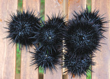 Sea urchin, echinus Royalty Free Stock Images