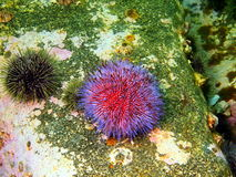 Sea urchin Echinus Stock Image