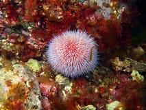 Sea urchin Echinus Royalty Free Stock Photos