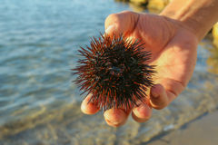 Sea urchin. In the hand Stock Photography