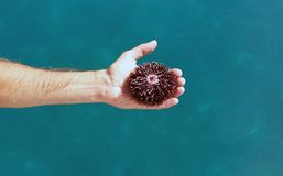 Sea urchin. In hand with sea in background Royalty Free Stock Photo