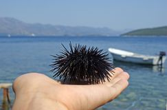 Sea urchin in a hand by the sea royalty free stock images