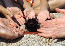 Sea-urchin in the hands Stock Photos