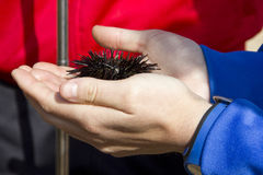 A sea urchin on the hands of a young. A young woman sees a live sea urchin have in your hands Royalty Free Stock Photos