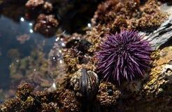 Free Sea Urchin In A Tidal Pool Stock Image - 21426741