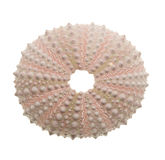Sea Urchin isolated on white Stock Photo