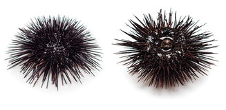 Sea urchin. Isolated on white background Stock Image