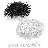 Sea urchin isolated white background. Illustration set on white background Stock Image
