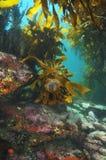 Sea urchin on kelp Royalty Free Stock Image
