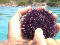 Urchin in hand Royalty Free Stock Images