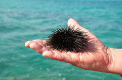 Sea urchin in the palm of a man. Royalty Free Stock Photography