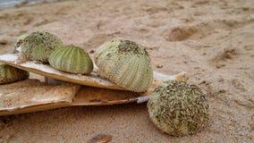 Sea Urchin on Rayong Beach , Thailand Royalty Free Stock Photography