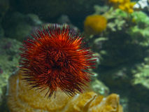Sea-urchin Royalty Free Stock Images