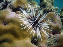 Sea Urchin on the reef stock photography