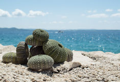 Sea urchin on rock with sea in background Stock Photography