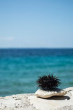 Sea urchin on rock with sea in background Royalty Free Stock Images