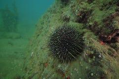 Sea urchin on rock wall Stock Photography
