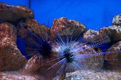 Sea urchin Stock Image