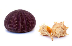 Sea urchin and sea shells Royalty Free Stock Images