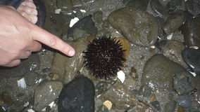 Sea urchin. The sea urchin is shown with a finger.  stock photo