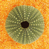 Sea urchin shell Royalty Free Stock Photography