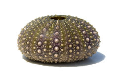 Sea urchin shell. Isolated shell of sea urchin on white Royalty Free Stock Photos