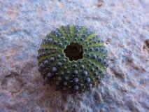 Sea urchin shell Royalty Free Stock Image