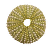 Sea urchin shell isolated on white background Royalty Free Stock Photo