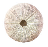 Sea urchin shell. Stock Photos