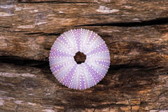 Sea Urchin Shell Royalty Free Stock Image