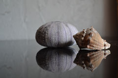 Sea Urchin and Shell Stock Photography
