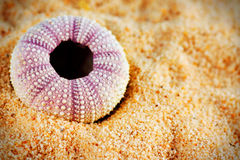 Sea urchin shell on sand Stock Image