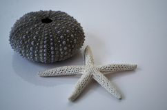Sea urchin Shell and starfish on a white background stock photo