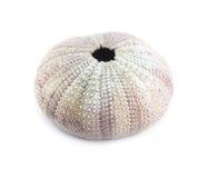Sea urchin shell. Royalty Free Stock Image