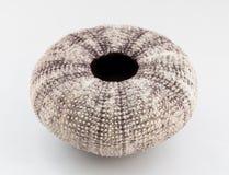 Sea urchin shell. Royalty Free Stock Photography