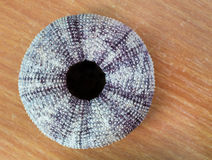 Sea urchin shell. Stock Photography