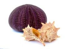 Sea Urchin and shells Royalty Free Stock Images
