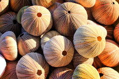 Sea Urchin Shells. A random collected pile of Sea Urchin shells showing pores, color and design of the shells Stock Images
