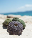 Sea urchin shells on rock with sea in background Stock Photos
