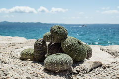 Sea urchin shells on rock with sea in background Stock Image