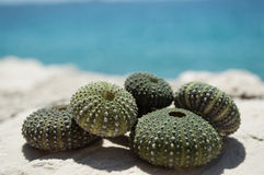 Sea urchin shells on rock with sea in background Stock Photography