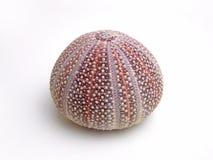 Sea urchin skeleton Stock Image