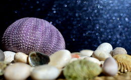 Sea urchin skeleton. Sea urchin with shells and stones and with dark gray shiny background stock images