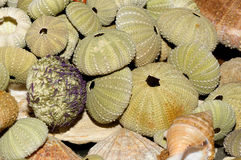 Sea urchin skeletons Stock Images