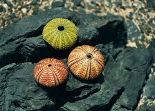 Sea Urchin skeletons. 3 multi-colored sea urchin skeletons on a stone on the coast of the Aegean Sea Stock Photos