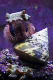 Sea urchin and snail. At reef aquarium Stock Photo