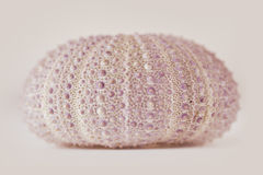 Sea urchin. In pink shades Royalty Free Stock Photos